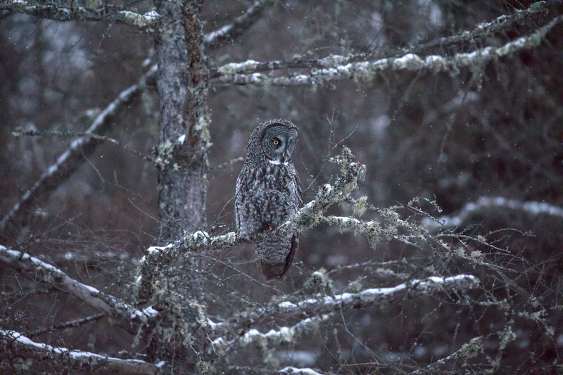 Great Gray Owl 45 (12-14-2017)