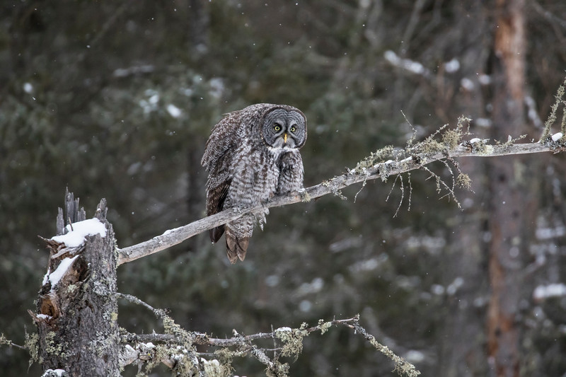 Great Gray Owl 4 (12-14-2017)