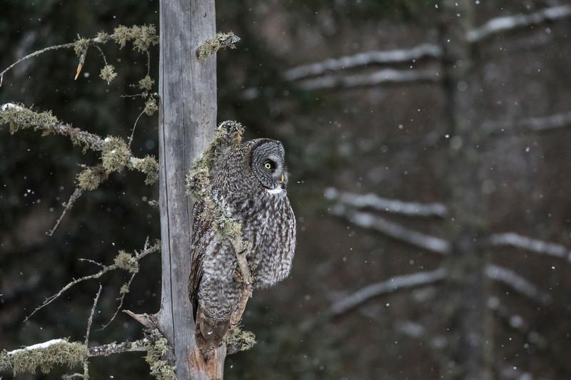 Great Gray Owl 18 (12-14-2017)