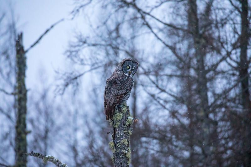 Great Gray Owl 27 (12-14-2017)