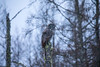 Great Gray Owl 27 (12-14-2017)