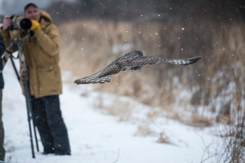 Great Gray Owl 29 (12-14-2017)