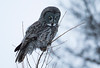 Great Gray Owl 33 (12-14-2017)