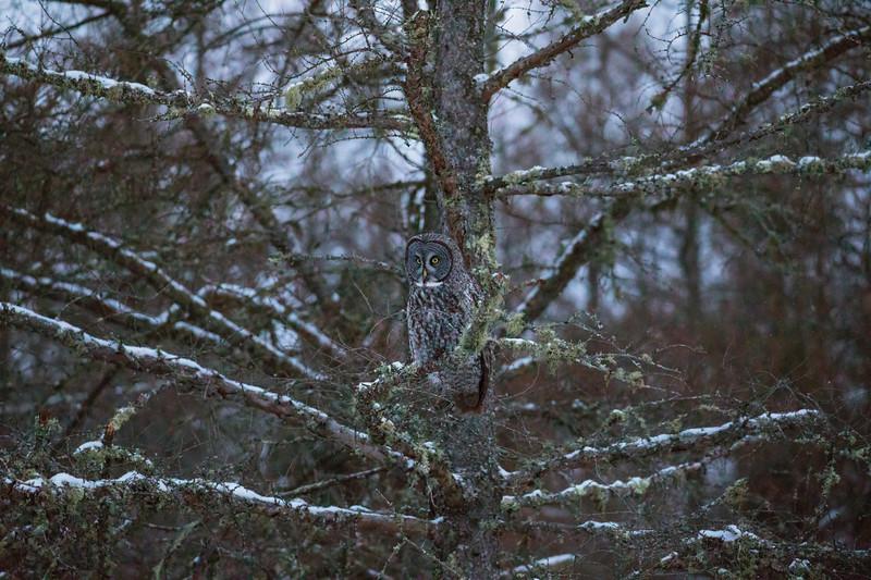 Great Gray Owl 41 (12-14-2017)
