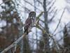Great Gray Owl 21 (12-14-2017)