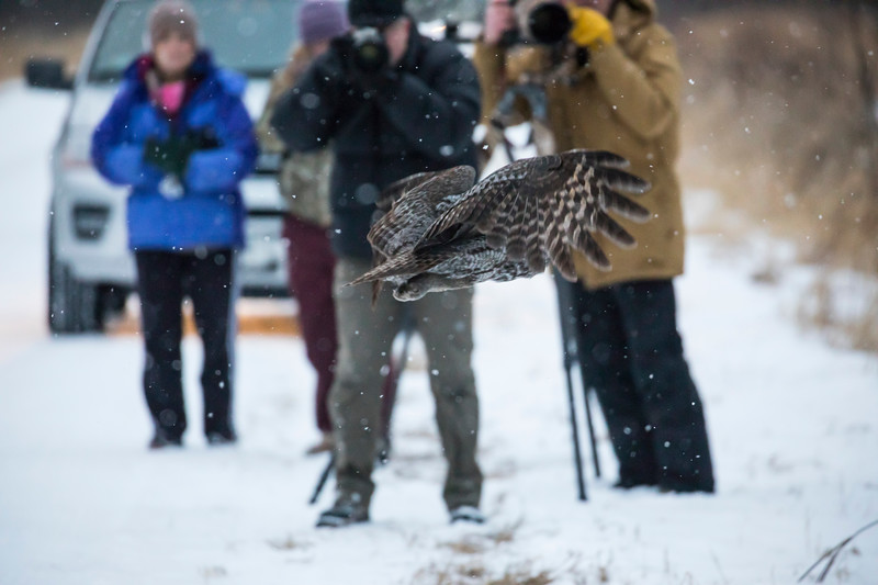 Great Gray Owl 28 (12-14-2017)