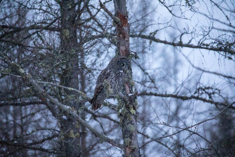 Great Gray Owl 36 (12-14-2017)