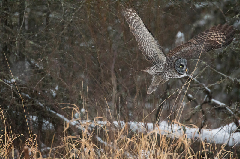 Great Gray Owl 14 (12-14-2017)