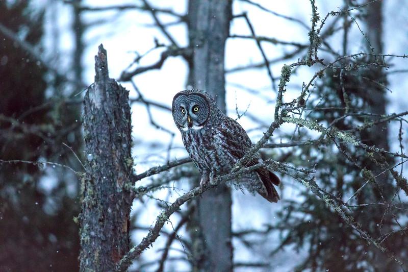 Great Gray Owl 44 (12-14-2017)