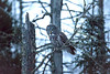 Great Gray Owl 44 (12-14-2017)