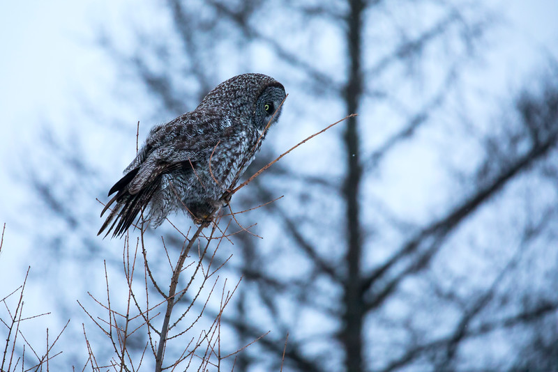 Great Gray Owl 31 (12-14-2017)