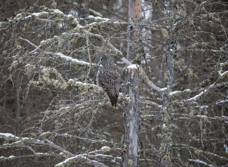 Great Gray Owl 13 (12-14-2017)