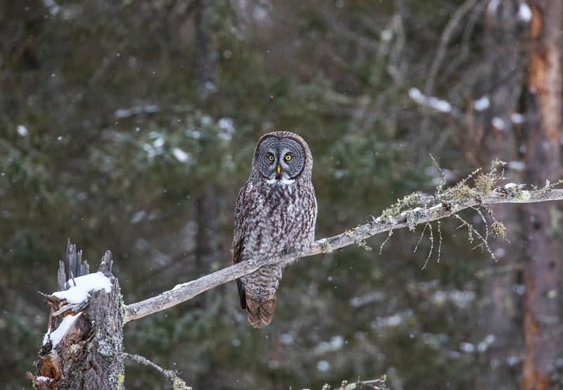 Great Gray Owl 1 (12-14-2017)