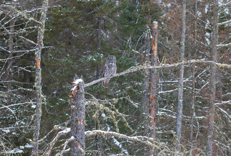 Great Gray Owl 3 (12-14-2017)