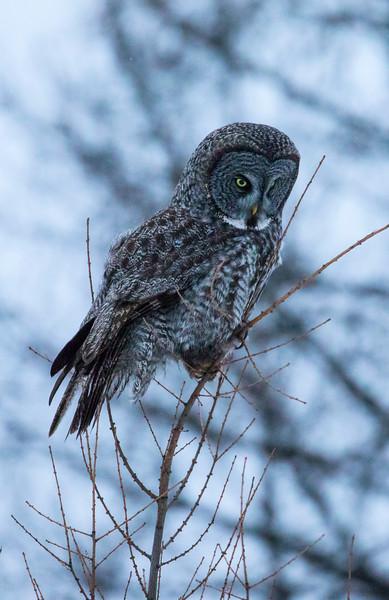Great Gray Owl 32 (12-14-2017)