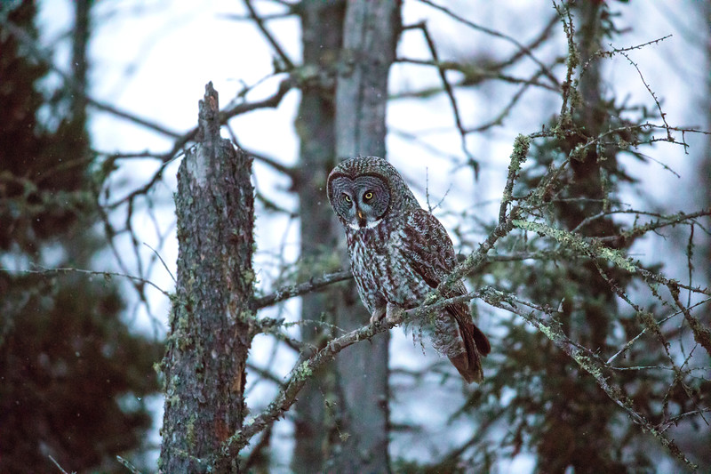 Great Gray Owl 48 (12-14-2017)