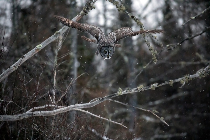 Great Gray Owl 24 (12-14-2017)