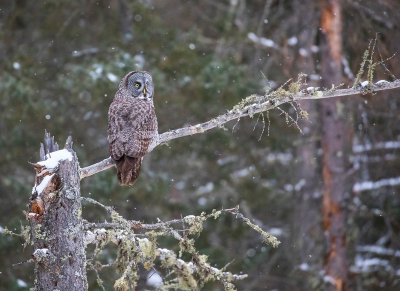 Great Gray Owl 10 (12-14-2017)