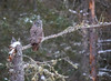 Great Gray Owl 10 (12-14-2017)