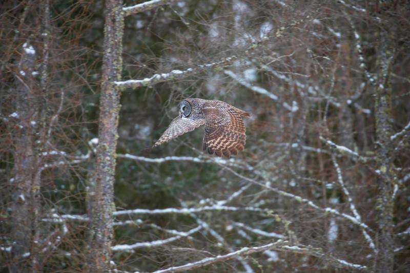 Great Gray Owl 17 (12-14-2017)