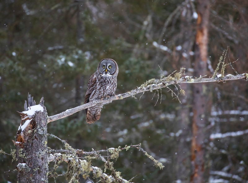 Great Gray Owl 6 (12-14-2017)