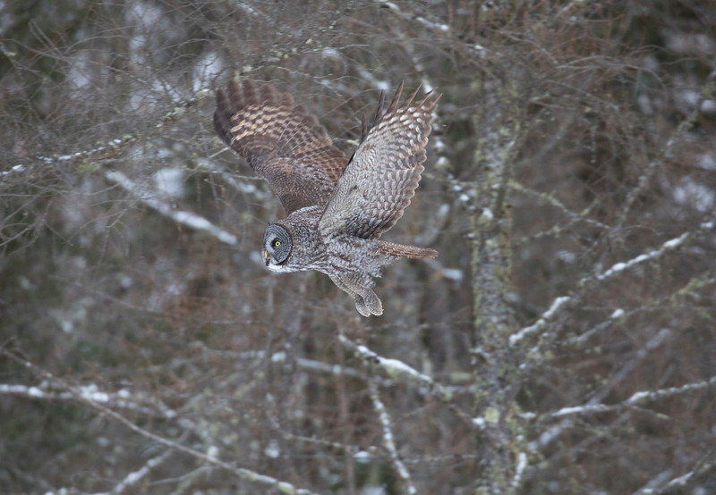 Great Gray Owl 16 (12-14-2017)