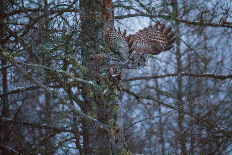Great Gray Owl 38 (12-14-2017)