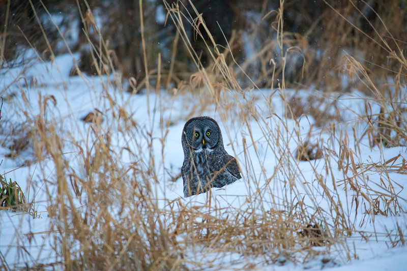 Great Gray Owl 25 (12-14-2017)