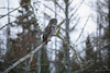 Great Gray Owl 20 (12-14-2017)