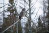 Great Gray Owl 20 (12-14-2017)