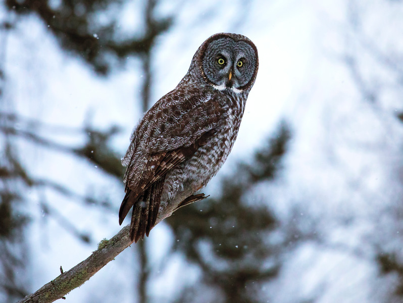 Great Gray Owl 35 (12-14-2017)