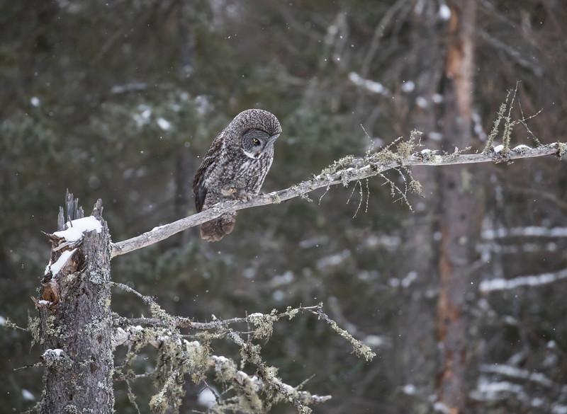 Great Gray Owl 7 (12-14-2017)
