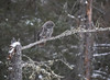 Great Gray Owl 7 (12-14-2017)