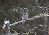 Great Gray Owl 2 (12-14-2017)