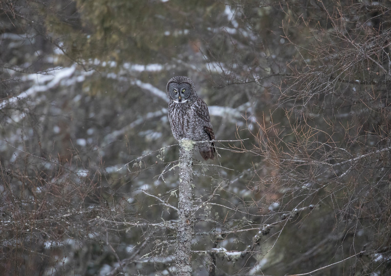 Great Gray Owl 12 (12-14-2017)