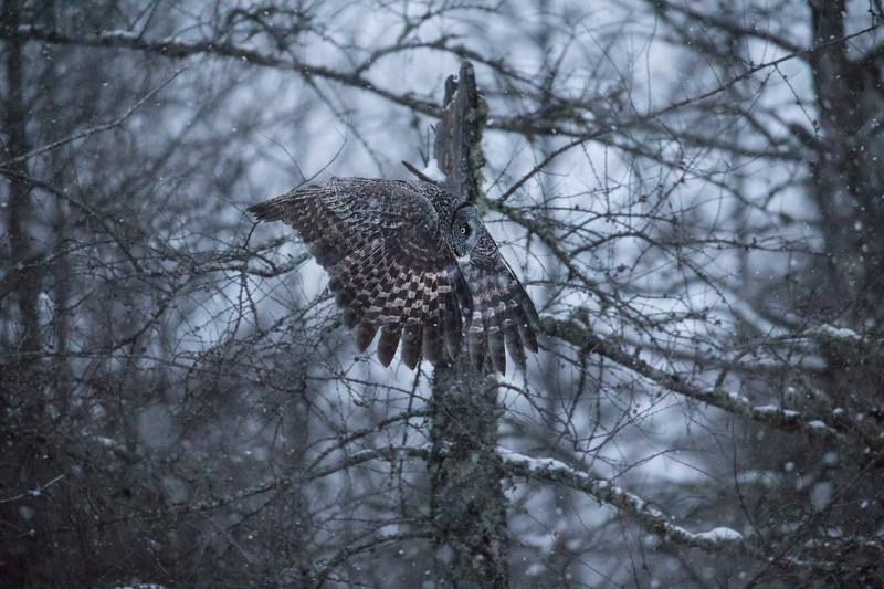 Great Gray Owl 40 (12-14-2017)