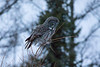 Great Gray Owl 34 (12-14-2017)