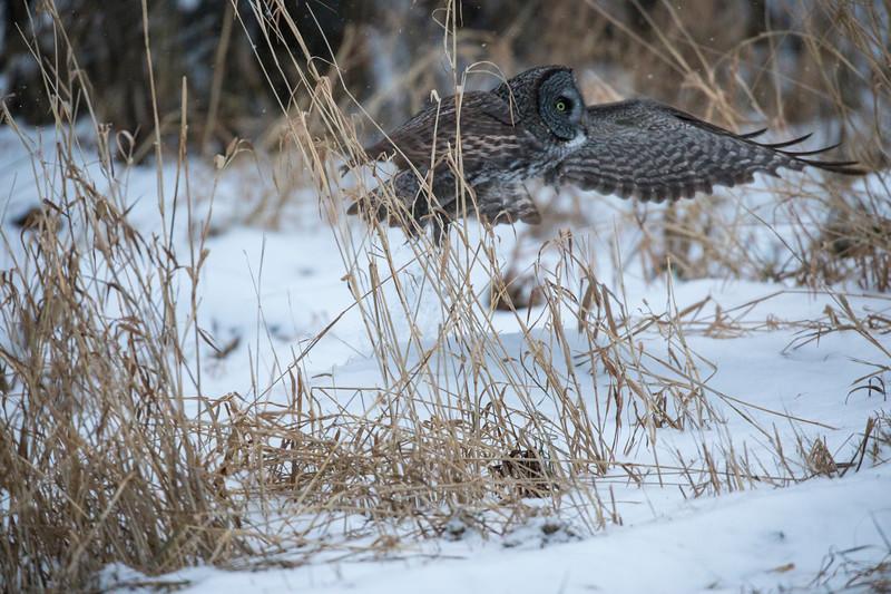 Great Gray Owl 26 (12-14-2017)