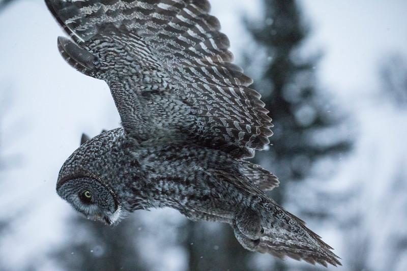 Great Gray Owl 46 (12-14-2017)