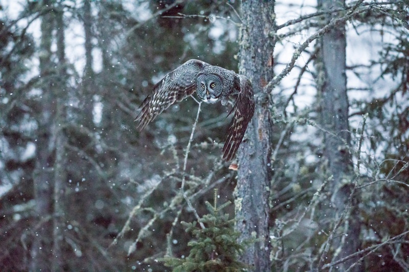 Great Gray Owl 43 (12-14-2017)