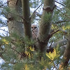 Owlet in the Tree Nest