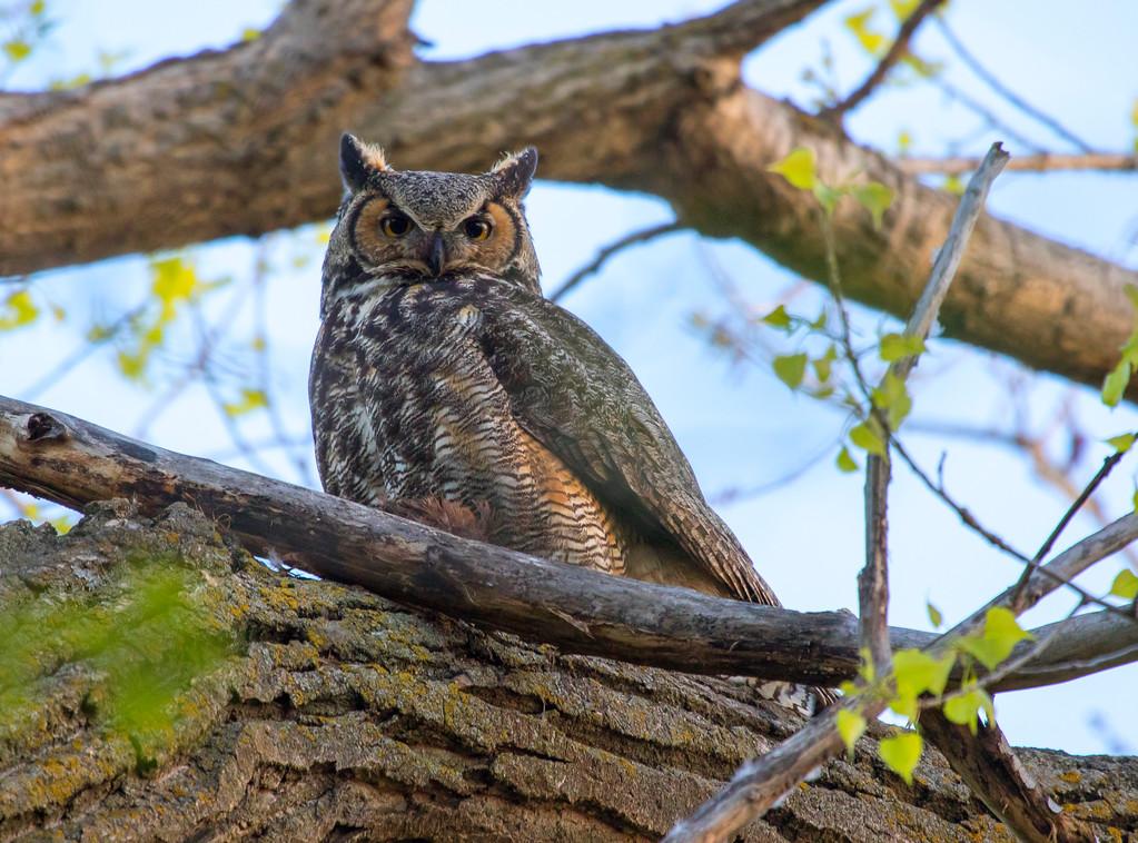 Great horned owl 11 (2015)