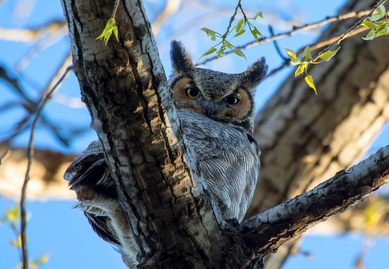Great Horned Owl 17 (2015)