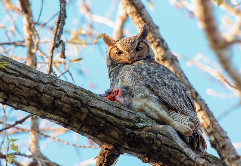 Great Horned Owl 15 (2015)