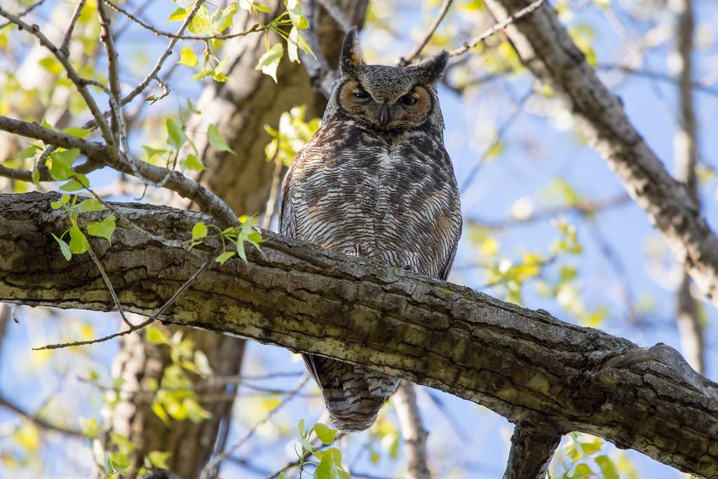 Great horned owl 5 (2015)