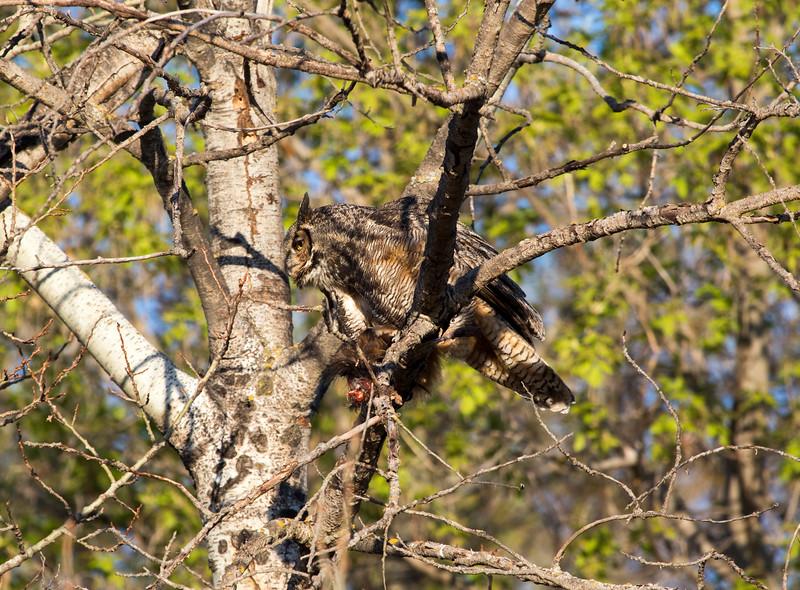 Great Horned Owl 9 (2015)