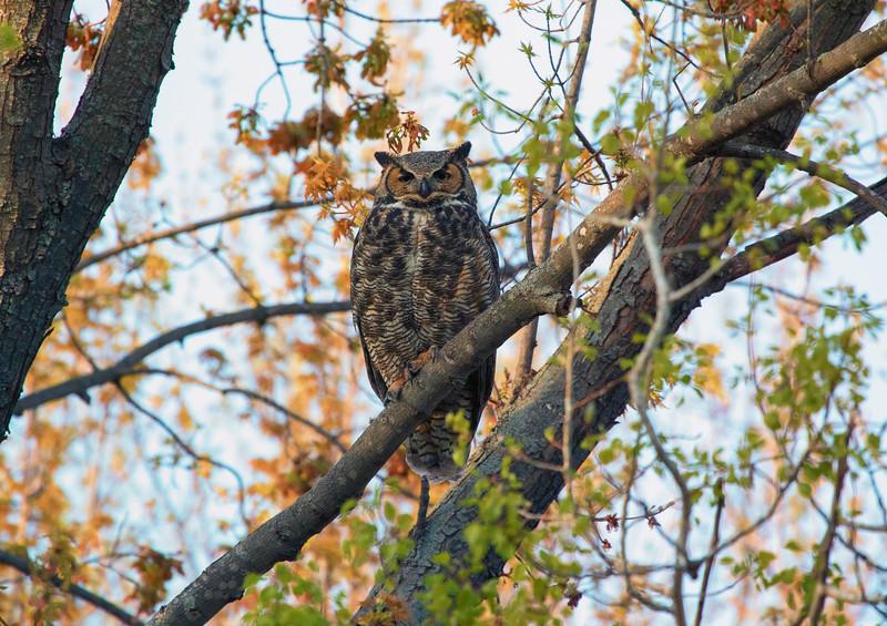 Great Horned Owl 14 (2015)