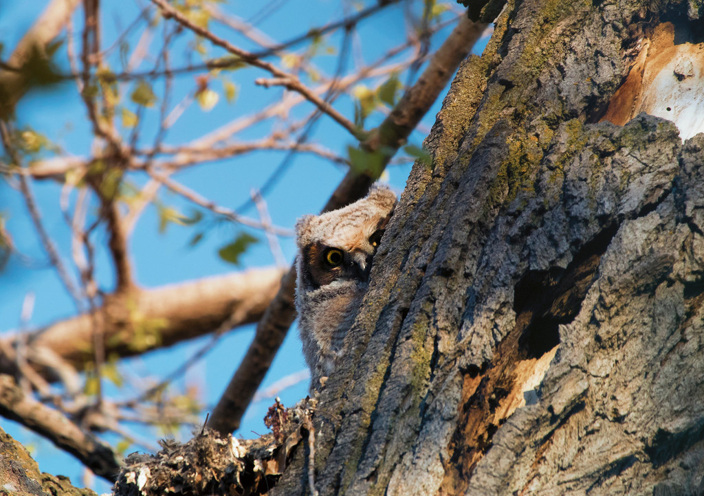 Great horned owlets 21 (2015)
