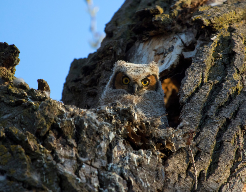 Great horned owlets 19 (2015)
