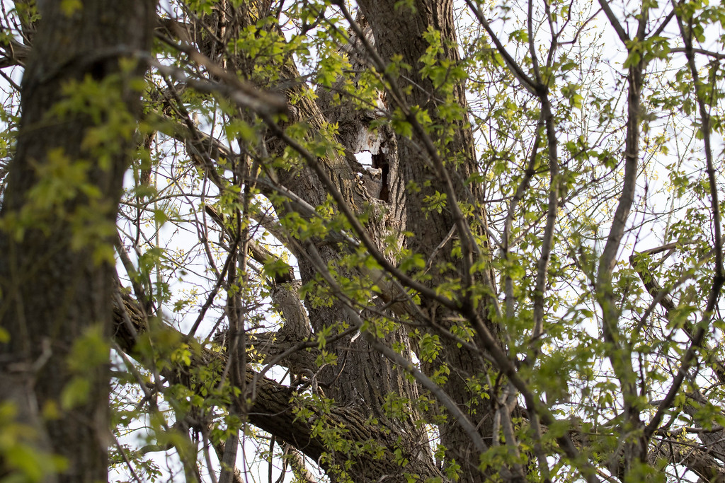Great horned owlets 17 (2015)